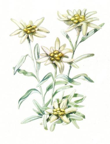 Amato Settembre la stella alpina, fiabe e leggende | Alla ricerca della  QN38
